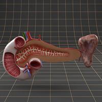 maya pancreas duodenum spleen