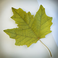 Autumn leaf poplar