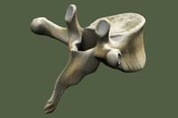 3dsmax thoracic vertebrae