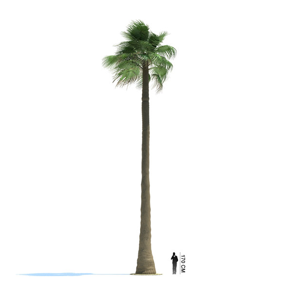 exotic tree washingtonia filifera 3ds - Washingtonia filifera... by evermotion