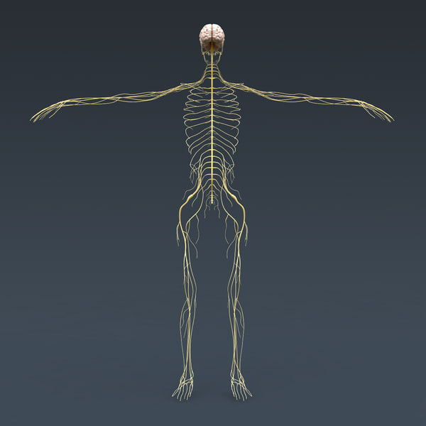 human nervous skeleton skull 3d model - Human Skeleton and Nervous System with Brain - Anatomy... by cgshape