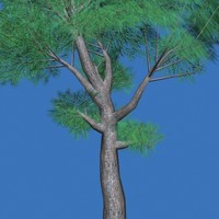 Tree Conifer 1