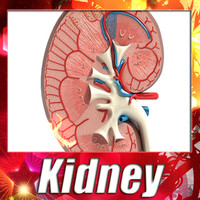 Kidney Anatomy - High Detailed.
