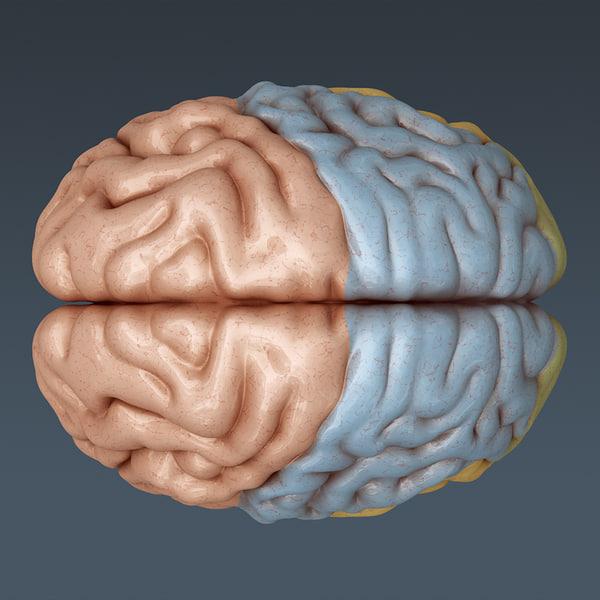 3ds max human brain internal anatomy