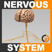 brain nervous - human 3d model