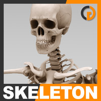 Human Skeleton - Anatomy