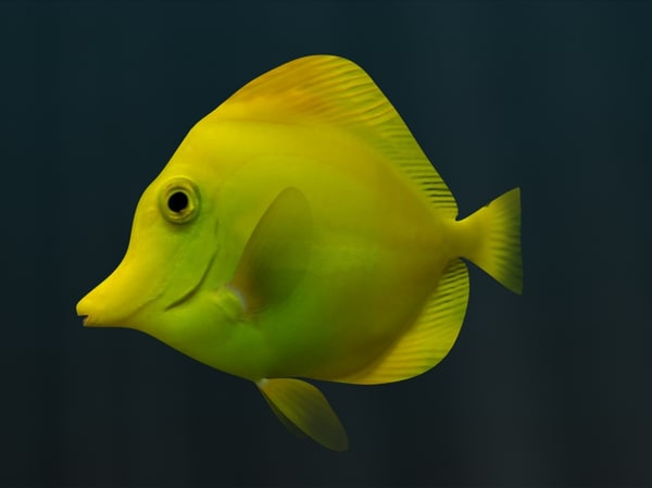 3dsmax yellow tang fish - Yellow Tang Fish... by 3dsam79