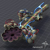 bronchial anatomy bronchi 3d model