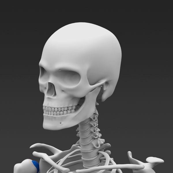 how to make a skeletal system 3d model