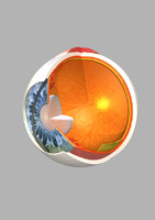 Human Eye Section High poly