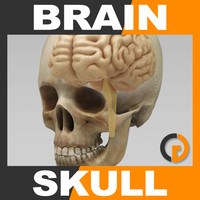 human brain skull - max