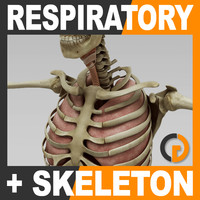 Human Respiratory System and Skeleton - Anatomy