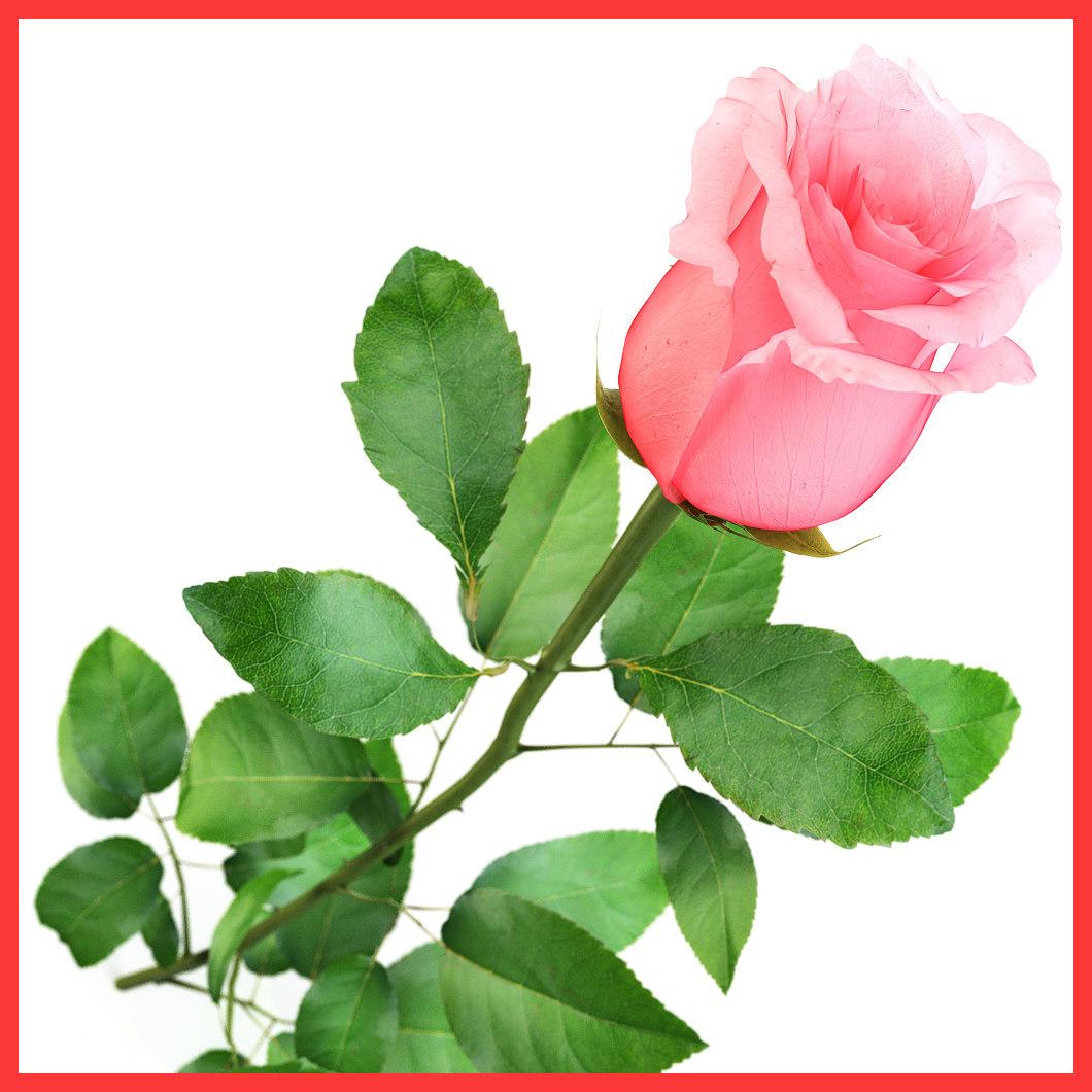 Rose_close_rose_02.jpg
