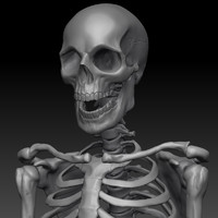 c4d male skeleton