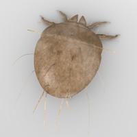 sarcoptes scabiei mite 3d model