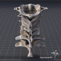 human cervical vertebrae 3d model