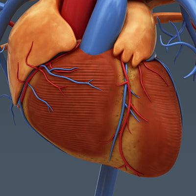 human heart internal anatomy 3d model