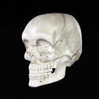 skull bone 3d max