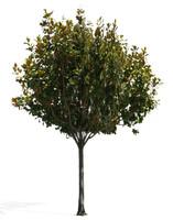 tree 36 3d model