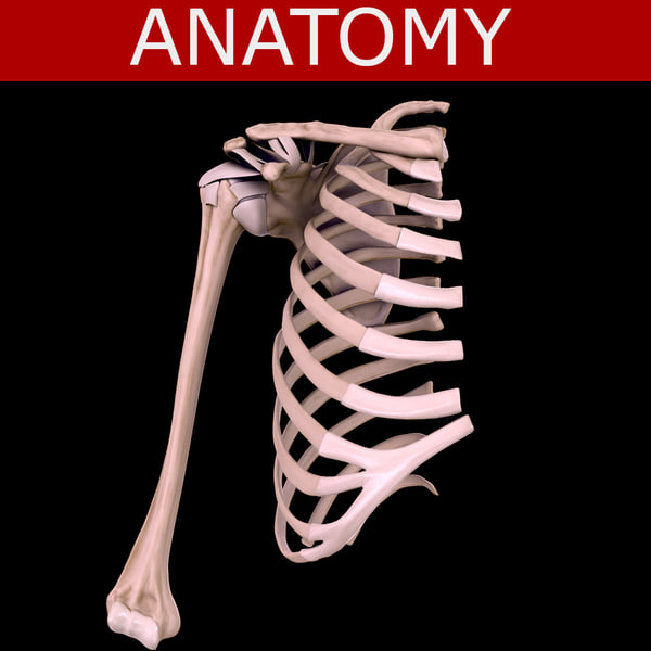 Shoulder 3d anatomy