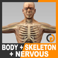 Human Male Body Nervous System and Skeleton - Anatomy