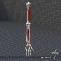 3d human arm structures model