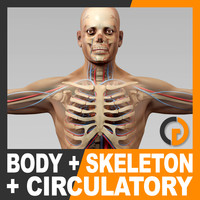 Human Male Body Circulatory System and Skeleton - Anatomy