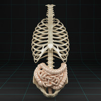 colon small intestine 3d model