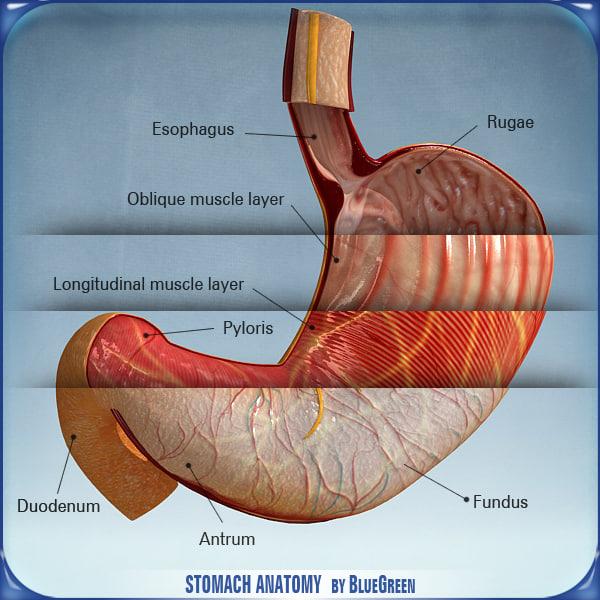 stomach_anatomy_01.jpg