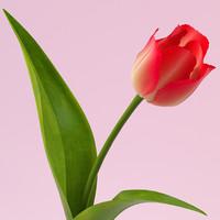 3d model tulip