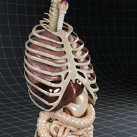 realistic internal 3d model