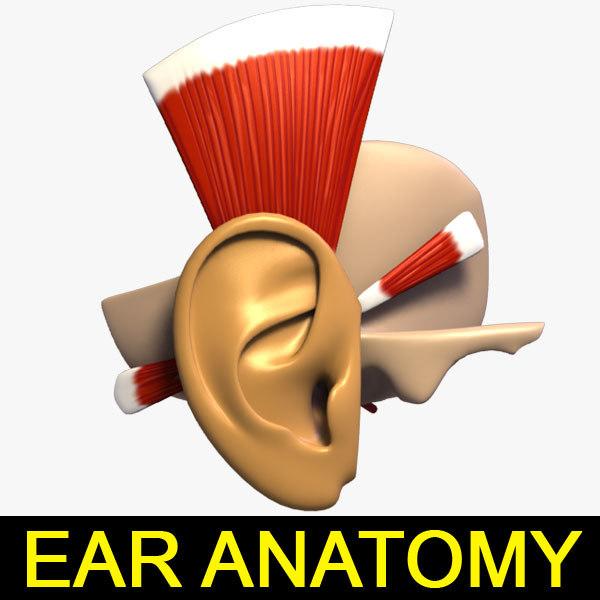 EAR_Anatomy_leo3dmodels_000.jpg