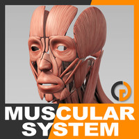maya anatomically human muscular -