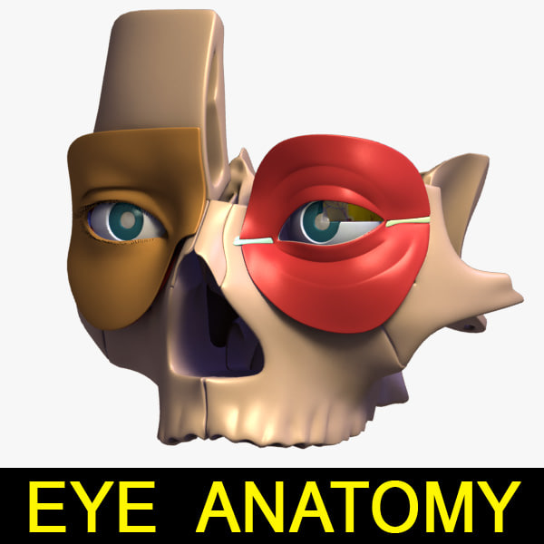 eye_anatomy_leo3dmodels_000.jpg