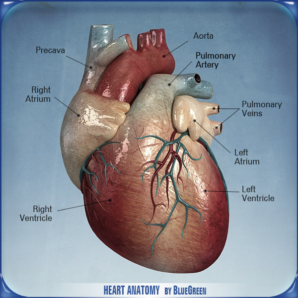 heart_anatomy_01.jpg
