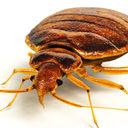 bedbug 3D models