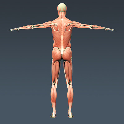 human male body muscular 3d 3ds - Human Male Body Muscular Respiratory System and Skeleton -... by cgshape