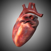 3d model of heart anatomy realistic