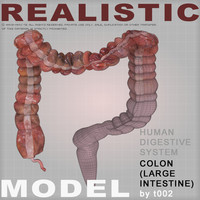 colon large intestine 3d max