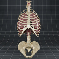 maya lungs thoracic diaphragm skeleton