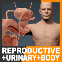 Human Male Body and Urinary and Reproductive System - Anatomy
