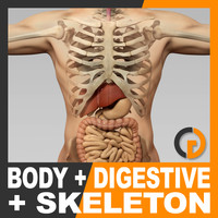 Human Male Body Digestive System and Skeleton - Anatomy