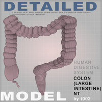 colon large intestine 3d model