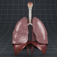 3d model lungs diaphragm