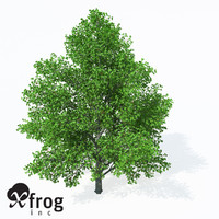 3d model of grey alder