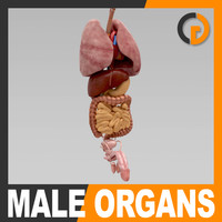 Human Male Body Internal Organs - Anatomy