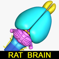 rat brain 3d max
