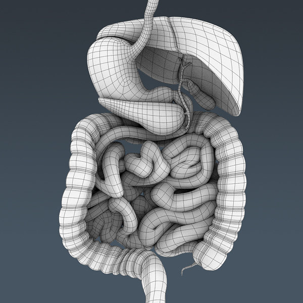 human male body digestive 3d model - Human Male Body and Digestive System Textured - Anatomy... by cgshape