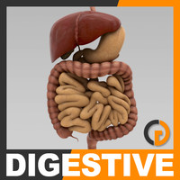 3d model of human digestive - organ anatomy