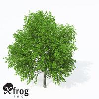 european hop hornbeam planting 3d model